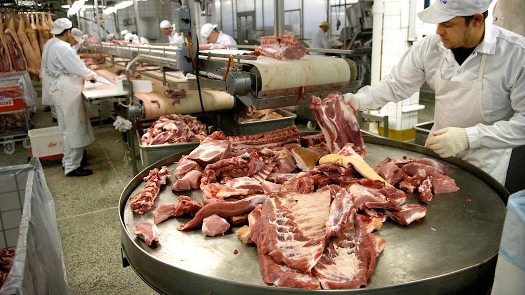 Slakt av grisar. Foto: TT