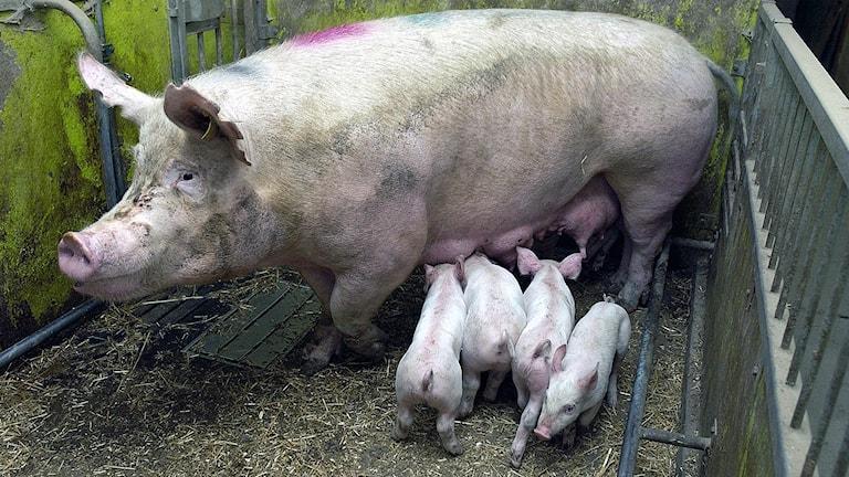 Landwirtschaft Schweine (Foto: Leif R Jansson / TT)