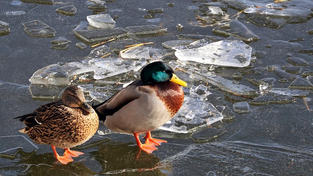 Två gräsänder står på frusen is. Foto: Hasse Holmberg/TT.
