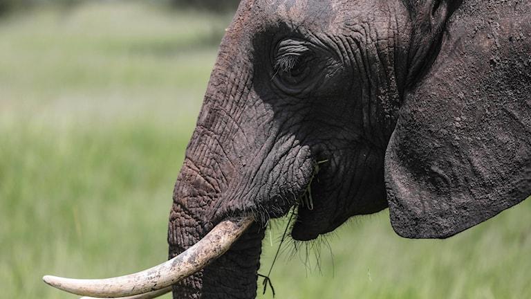 Afrikansk elefant. Foto: Mosa'ab Elshamy/AP.