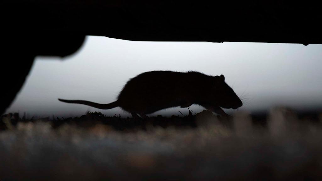 Råtta. Foto: Fredrik Sandberg/TT.