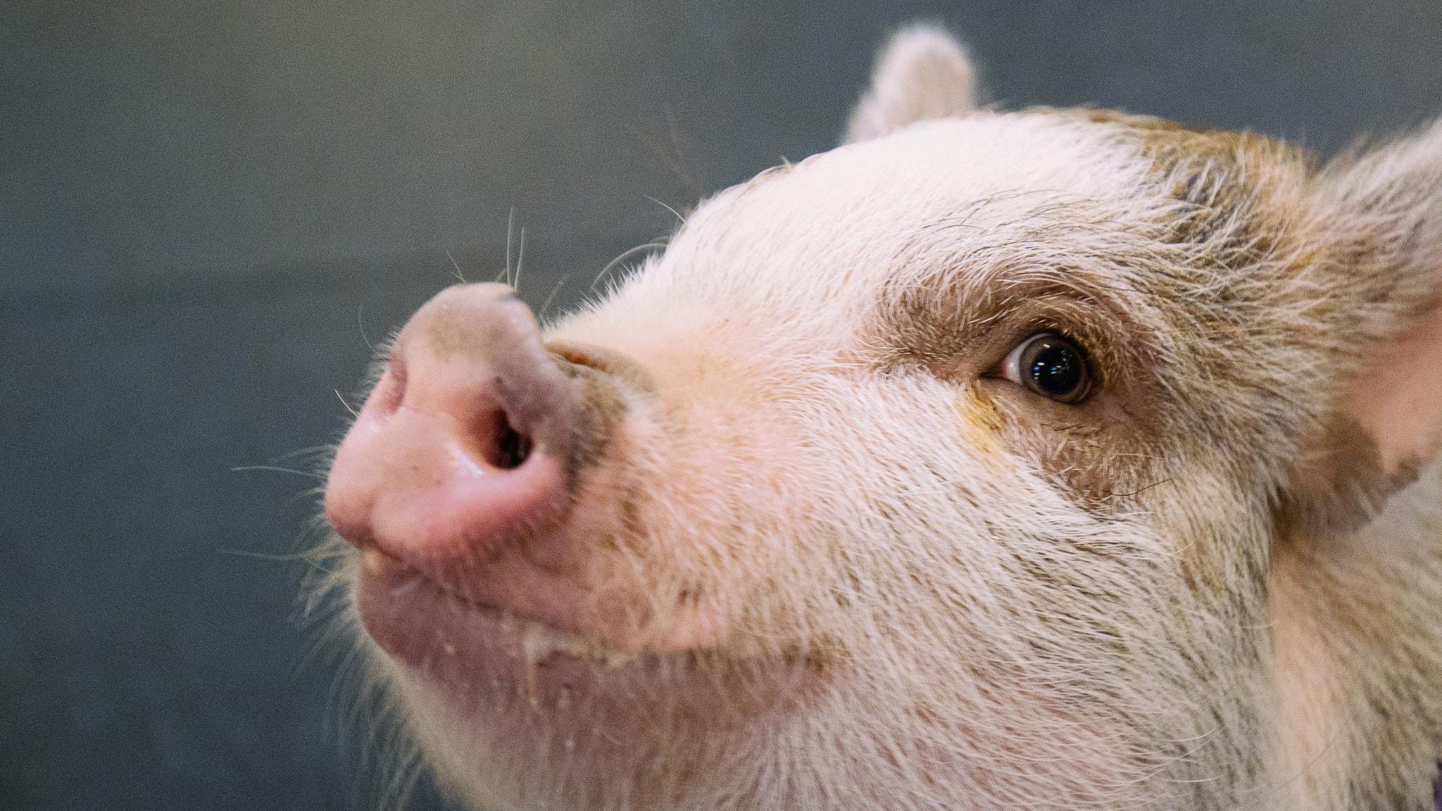 Vad tänker grisen på? Och har den samma värde som en människa?