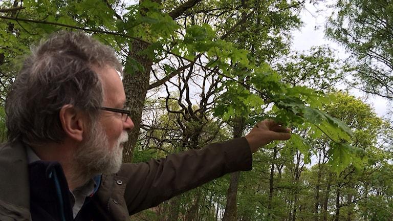 Gunnar Isacsson på Skogsstyrelsen visar en lönn som frostfjärilens larver börjat äta av bladen på. Foto: Samuel Larsson/Sveriges Radio