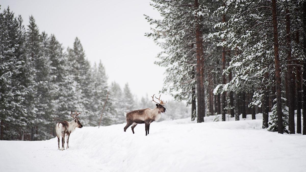 Renar i snö