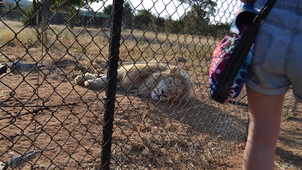 Lejon föds upp enbart för dra in pengar på turister och volontärer för att sedan säljas till jaktfarmer. Foto: Lena Pettersson / Sveriges Radio