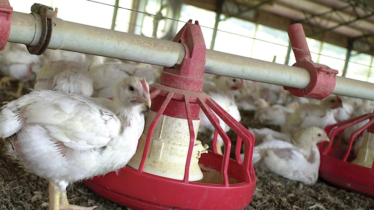 Anibiotika kycklingar Foto:April L Brown/TT