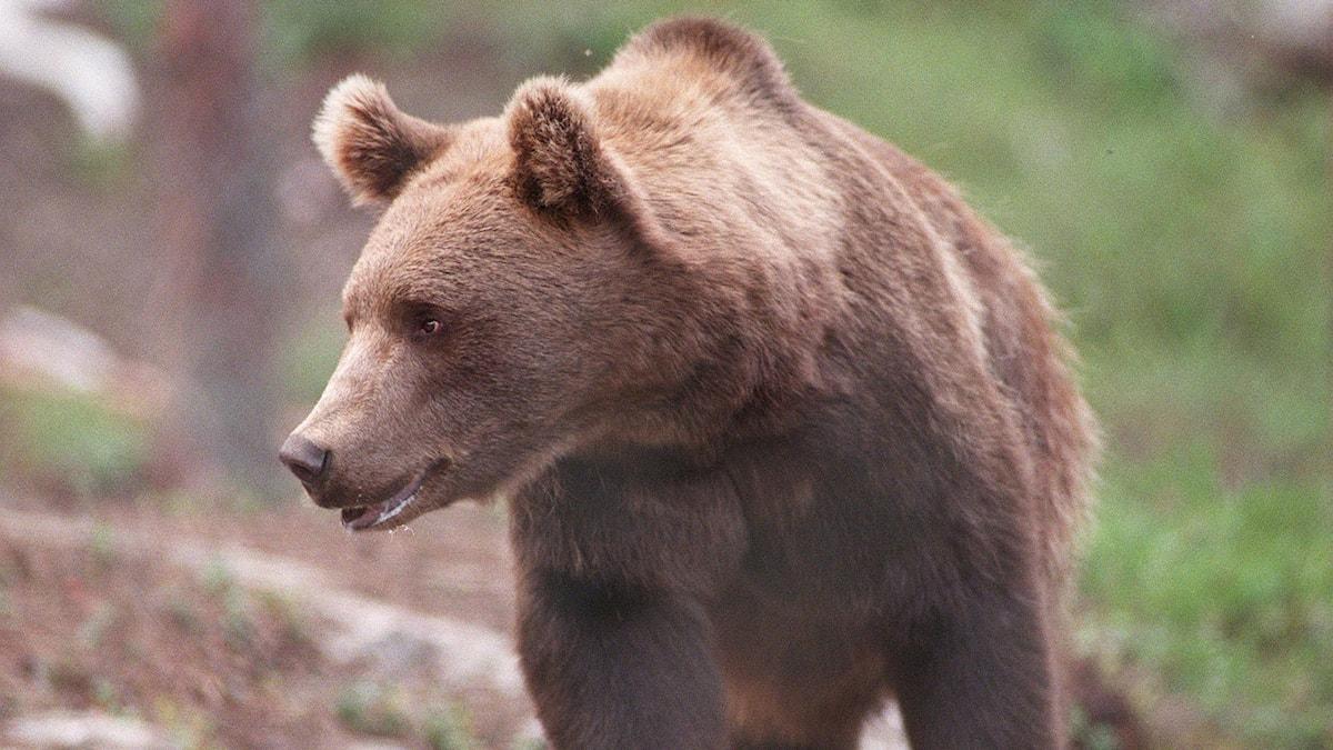 Brist på föda i skogen lockar björnar till bebyggelse. Foto: Per Løchen/SCANPIX NORWAY