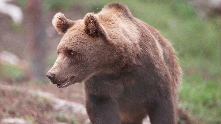 Brist på föda i skogen lockar björnar till bebyggelse. Foto: Per Løchen/SCANPIX NORWAY sx583fd8