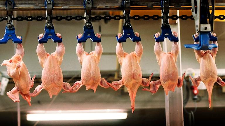 kycklingindustri. Foto: Lars Pehrson/TT