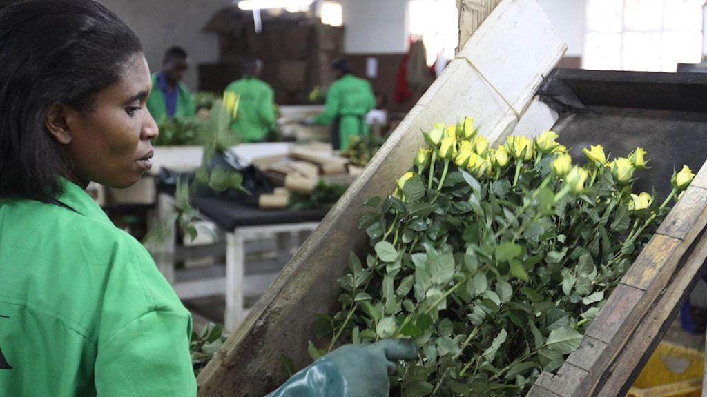 Kenya förväntas växa med sex procent i år. Foto:Khalil Senosi/TT