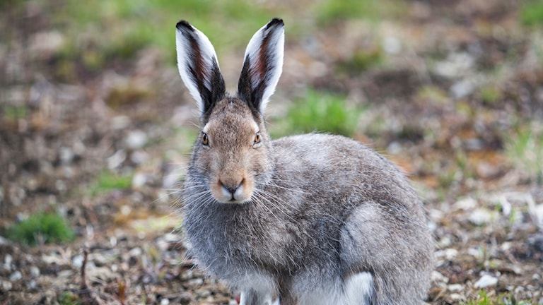 En hare. Foto: Paul Kleiven/TT