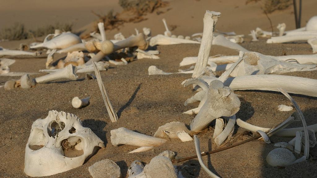 skelettdelar i öknen