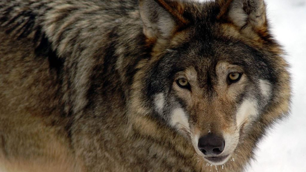 Närbild av en varg. Foto: Hasse Holmberg/TT.
