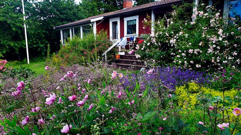 Blommor framför ett rött hus på sommaren.
