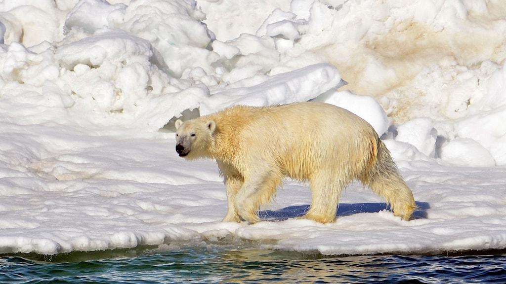 En isbjörn torkar i solen efter en simtur.