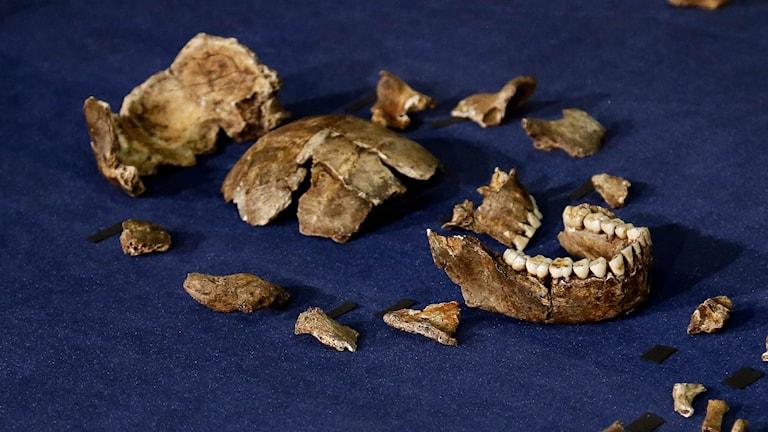 Delar av fyndet i Sydafrika som kan vara en ny männsikoart, Homo Naledi. Foto: Themba Hadebe/AP