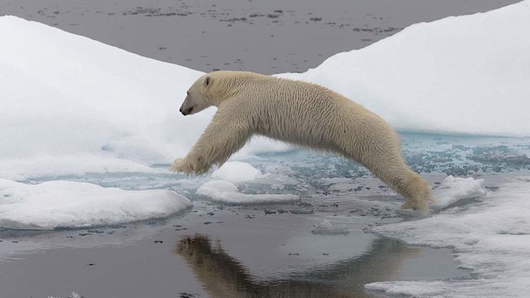 En isbjörn. Foto: Jon Aars/TT.