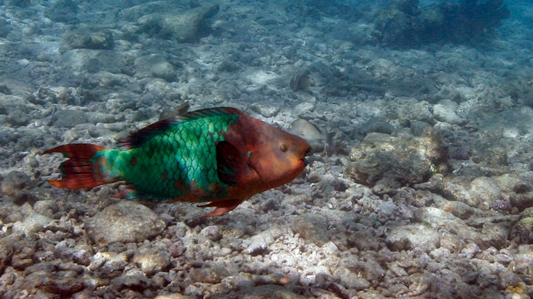 A parrot fish swimming over a dead coral reef in the Florida Keys National Marine Sanctuary near Key West, Fla. File photo: Wilfredo Lee / AP.