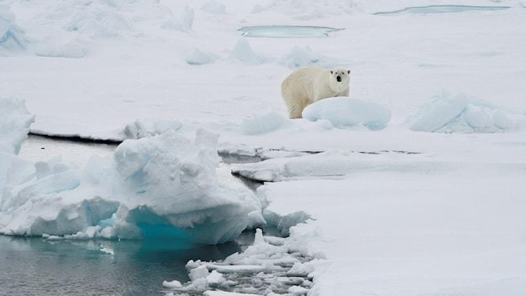 En isbjörn på Svalbard. Foto: Romas Dabrukas/TT