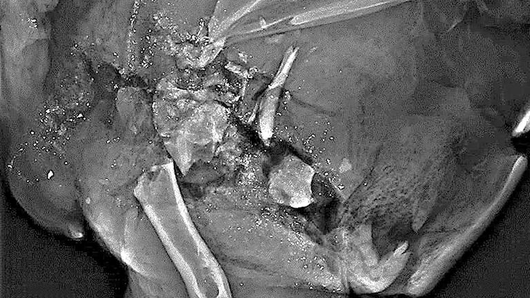 Prickarna på den röntgenbild av vilt är metall från kulan. Foto: Livsmedelsverket.