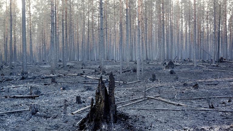 Skogen kring Ängra efter branden.