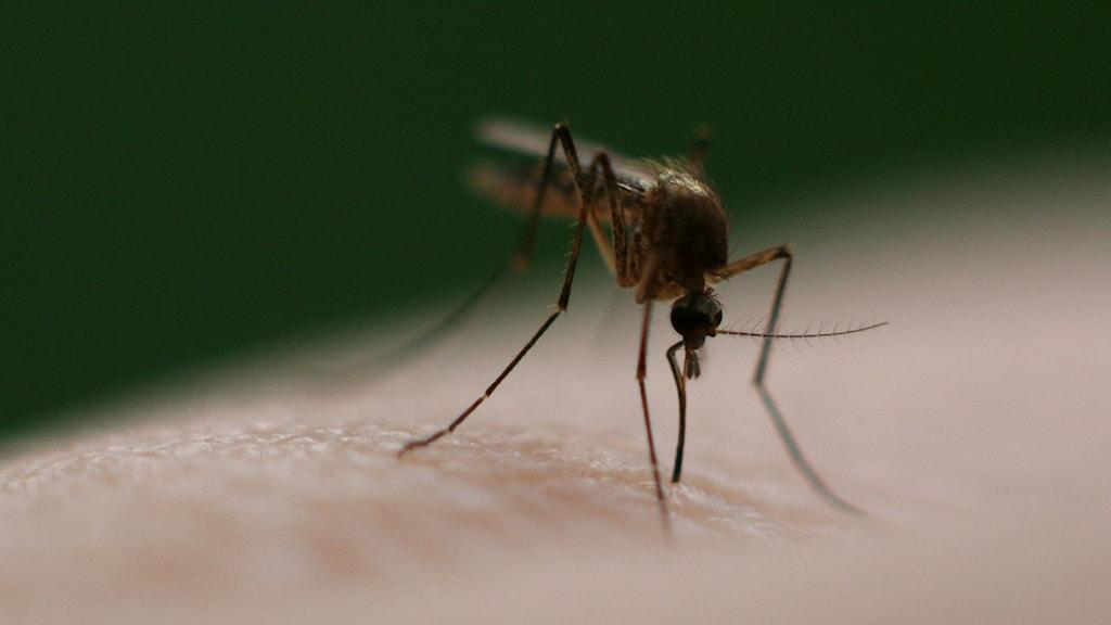 Malariamygga. Foto: Andy Langager (CC BY-NC 2.0)