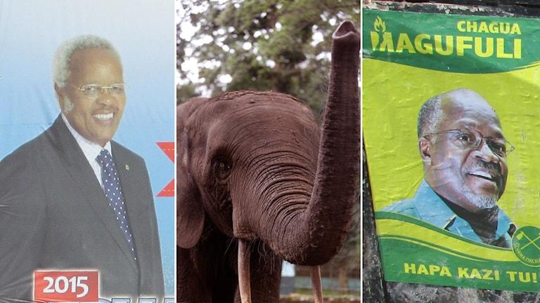 delad bild, två män på olika valaffischer och en elefant. Foto: Richard Myhrenberg/Sveriges Radio och Schalk van Zuydam/AP