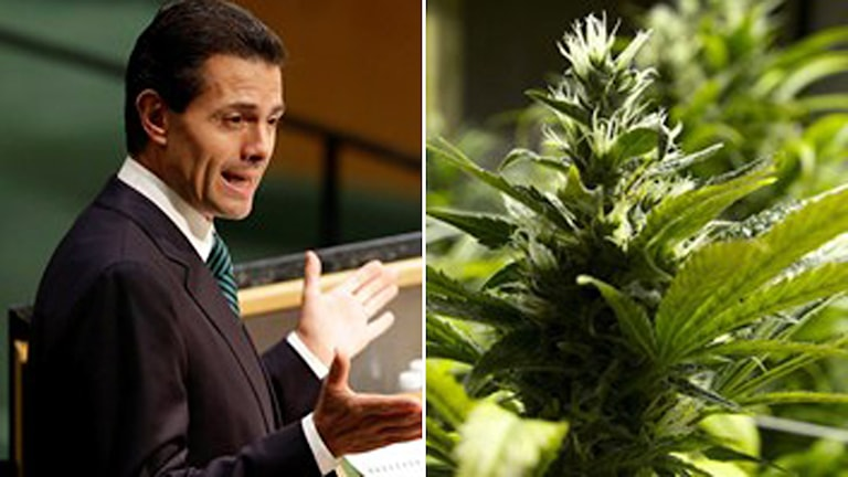 Mexiko president cannabis legalisera debatt Foto:TT