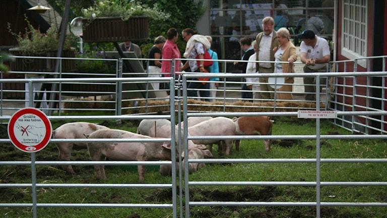 Mer än 2/3 av danska grisar bär nu på husdjurs-MRSA. Foto: Snapboot (CC BY 2.0)