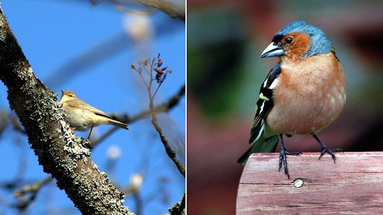 bild på lövsångare till höger och bofink till vänster