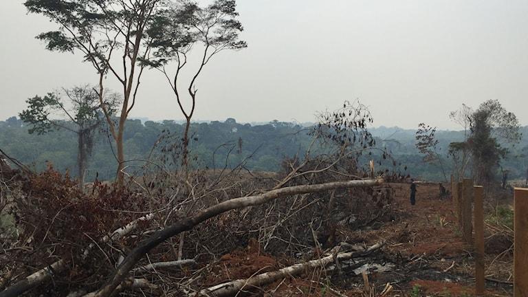 Skövlad skog i Amazonas. Foto: Lotten Collin/Sveriges Radio.