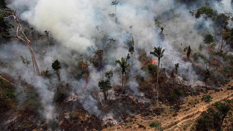 Bönder eldar skog i Brasilien för att få odlingsmark. Foto: Andre Penner/AP.