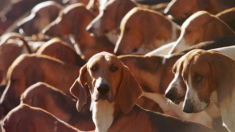 Hundar. Foto: Jerome Delay/TT.