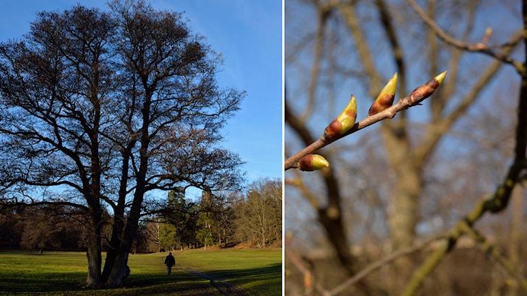 Träd och en gren med knoppar. Foto: TT