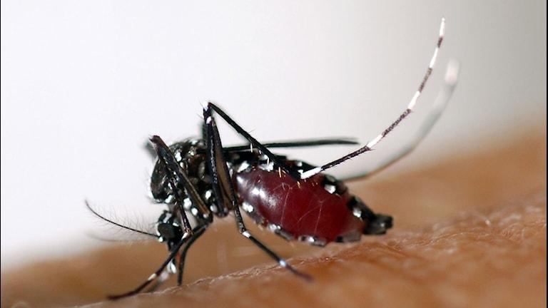 En mygga som sitter på hud.