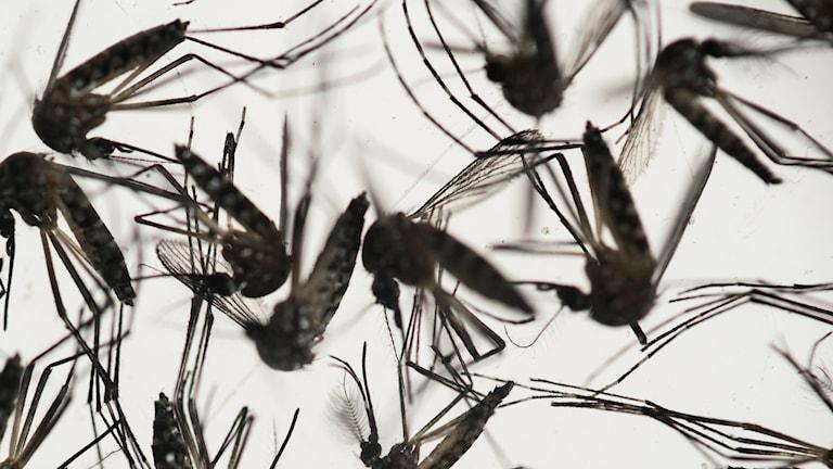 Myggor är den huvudsakliga smittspridaren av zikaviruset. Foto: Felipe Dana/AP/TT