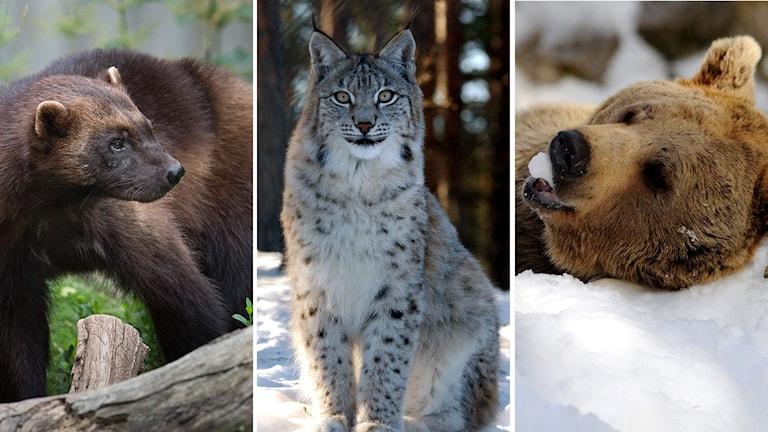 Studien grundar sig på data från de stora svenska forskningsprojekten på björn, lo och järv under närmare 30 års tid.