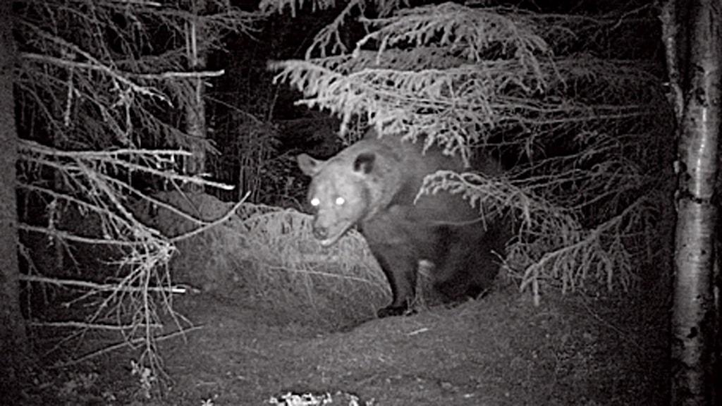 Mörkerkamera björn under gran