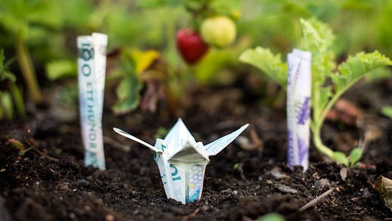 Vikta svenska sedlar i ett trädgårdsland.