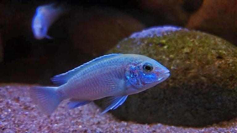 En fisk från ciklidfamiljen
