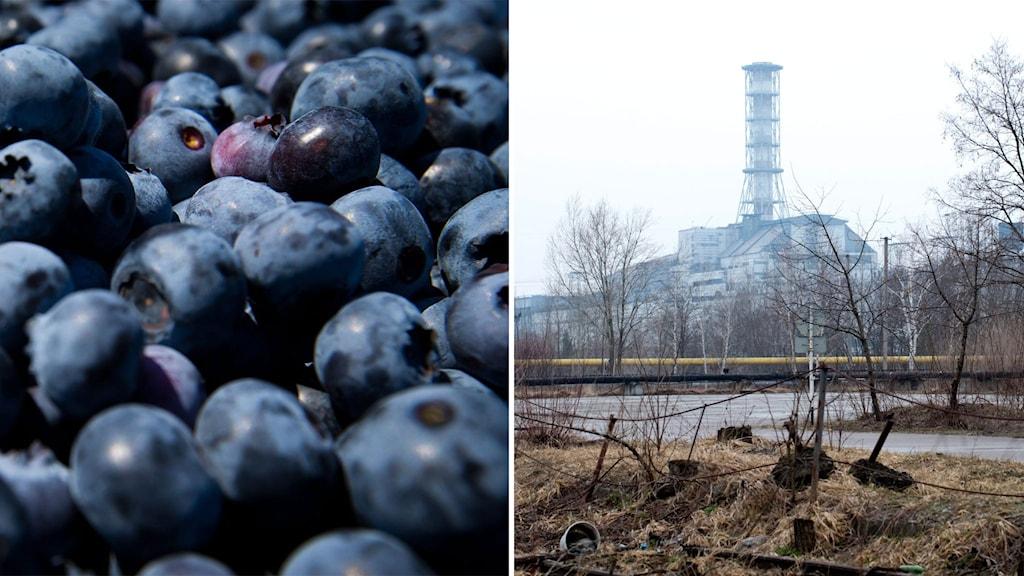 Blåbär och Tjernobyl