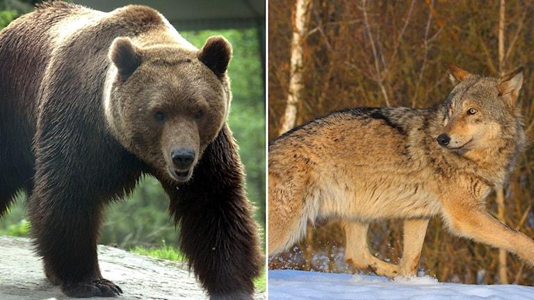 Björn och varg