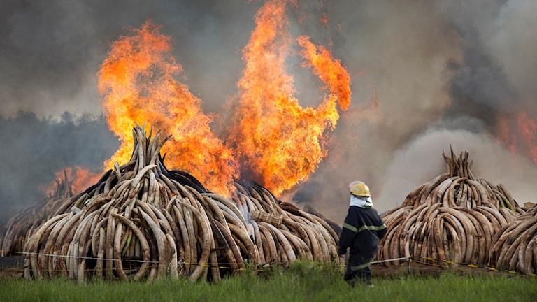 Jättebål av 16 000 elfenbetar i Nairobi