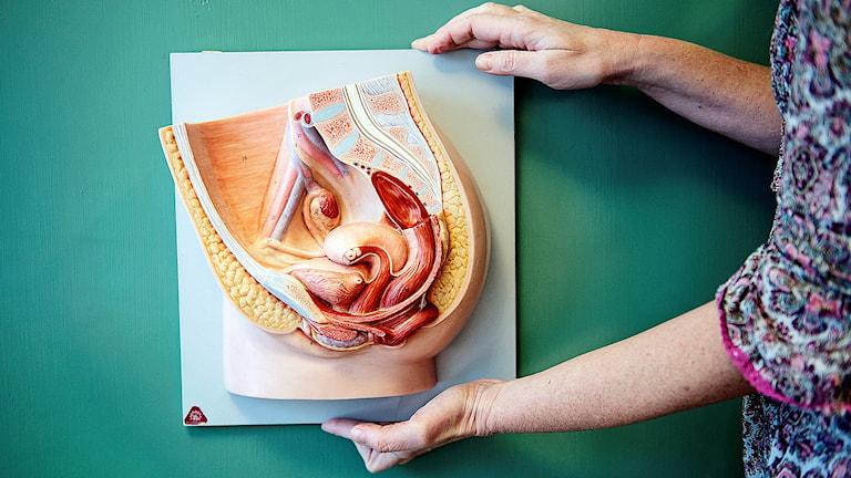 Anatomisk modell över kvinnans underliv.