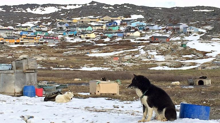 Grönländsk slädhund