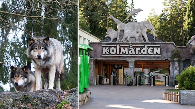 Delad bild: Två vargar samt entrén till Kolmården.