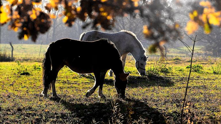 Hästar betar på äng.