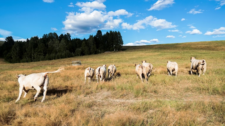 Den rekordtorra sommaren drabbade jordbrukare och köttproducenter. Många bönder befarade nödslakt. Men i de allra flesta fall har branschen lyckats undvika det.