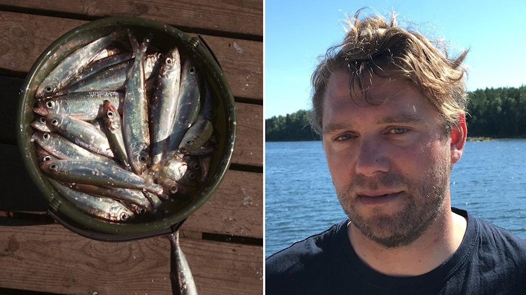 Montage på fisk i hink och man framför vatten.