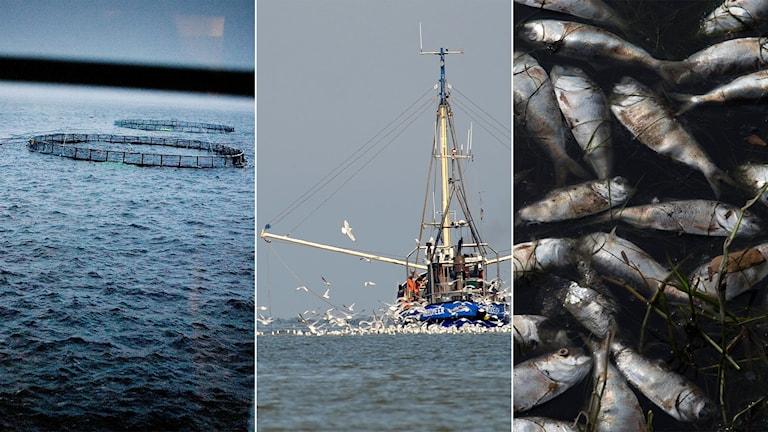 Tredelad bild: fiskodling, fiskebåt, död fisk som flutit upp på ytan.